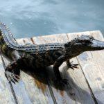 Národní park Everglades, Florida – aligátor