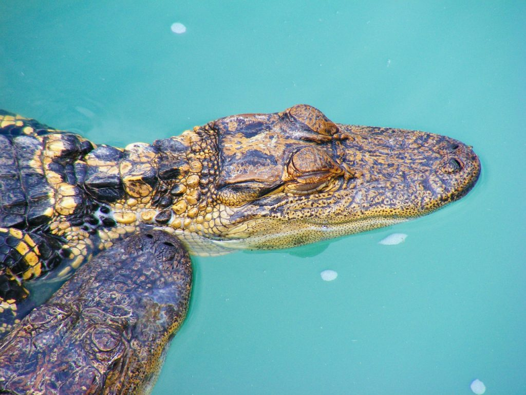 Aligátor v ZOO Naples na Floridě