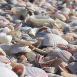 Mušle na Saint Petersburg Beach, , Florida