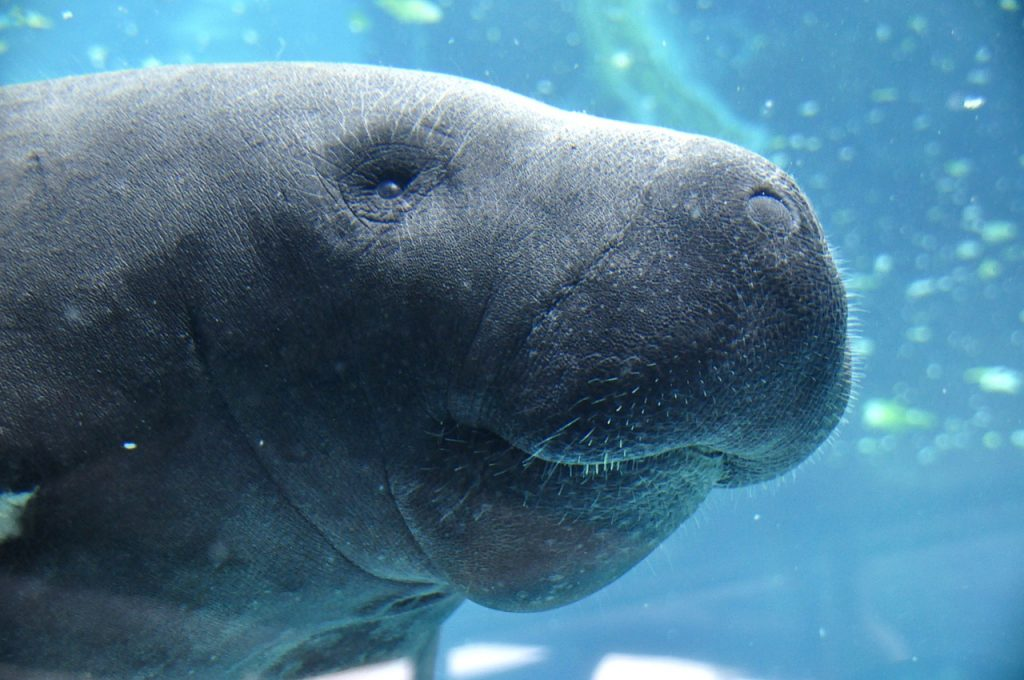 Kapustňák v The Parker Manatee Aquarium