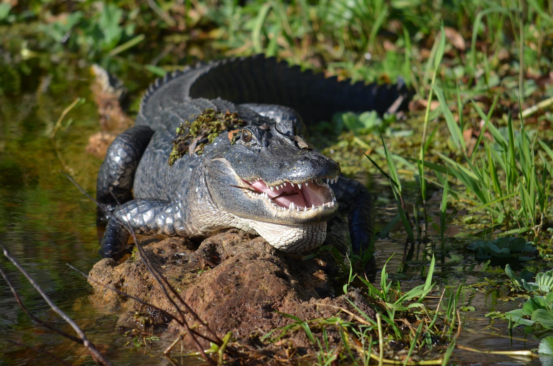 Jezero Lake Monroe je domovem spousty vzácných živočichů, včetně floridských aligátorů.